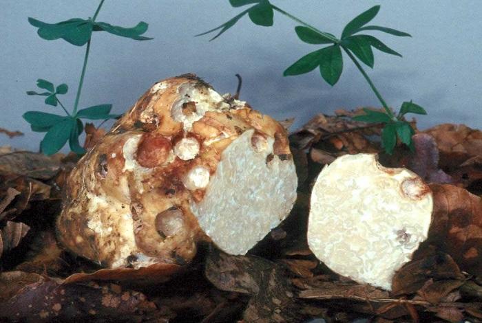 Белые трюфели
