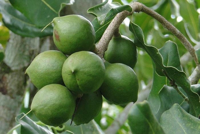 Растет орех макадамия
