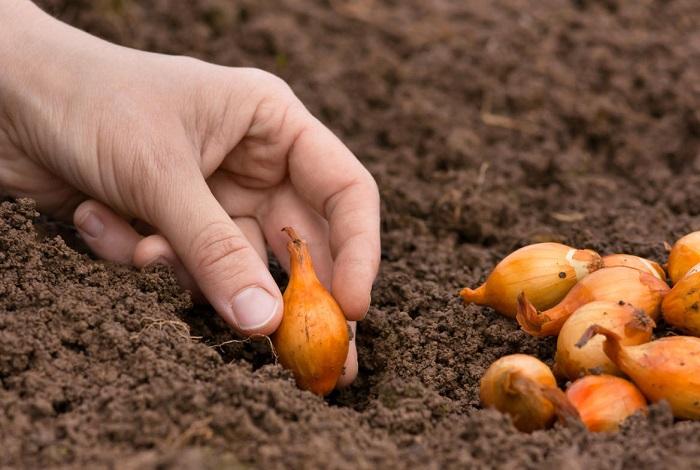 Посадить лук-шалот